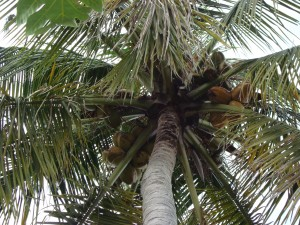 """image of the coconut tree in my backyard"""